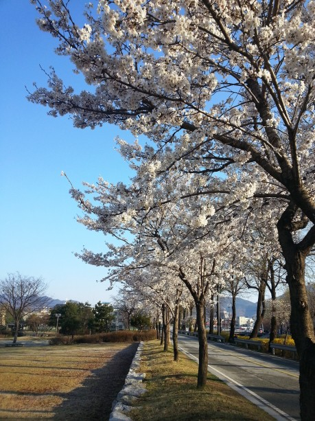 Cherry blossoms in Eumseong.