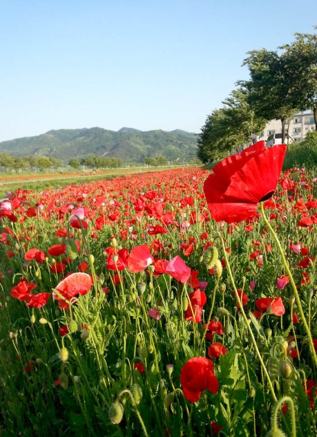 Poppies are everywhere in Eumseong!