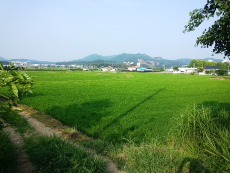 Rice fields in Eumseong.