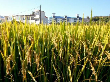 It's time to harvest the rice. That means winter is coming.