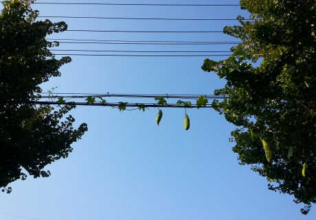 While taking a walk in Eumseong last weekend I spotted zucchini clinging to a power line.