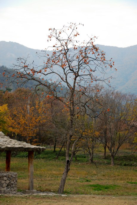 A persimmon tree in Seonunsan Provincial Park. I had no idea these trees were so talll! I also hadn't ever tried a persimmon until recently. They're really sweet and delicious.