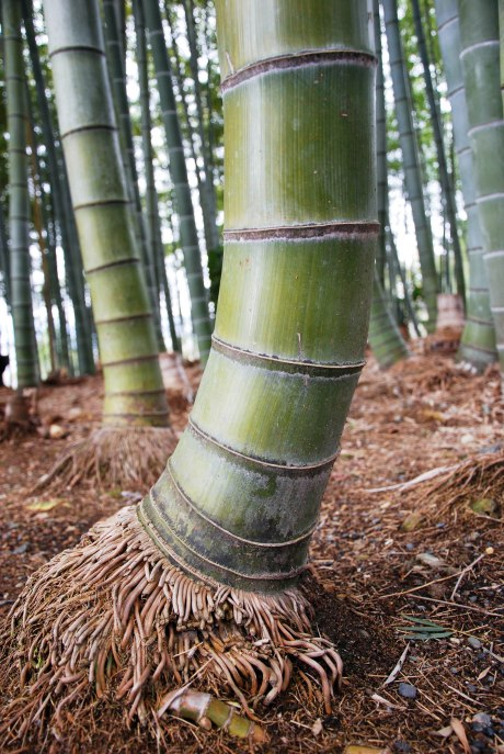 Bamboo roots.